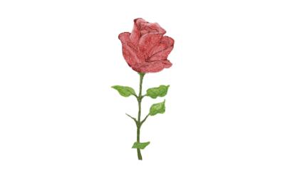 Cómo Hacer Agua de Rosas desde Casa