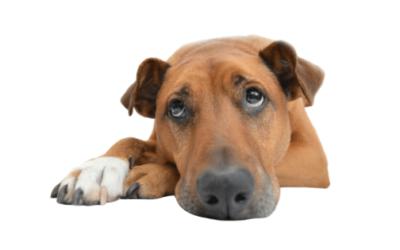 Cómo saber si mi perro tiene pulgas