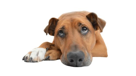 como saber si mi perro tiene pulgas